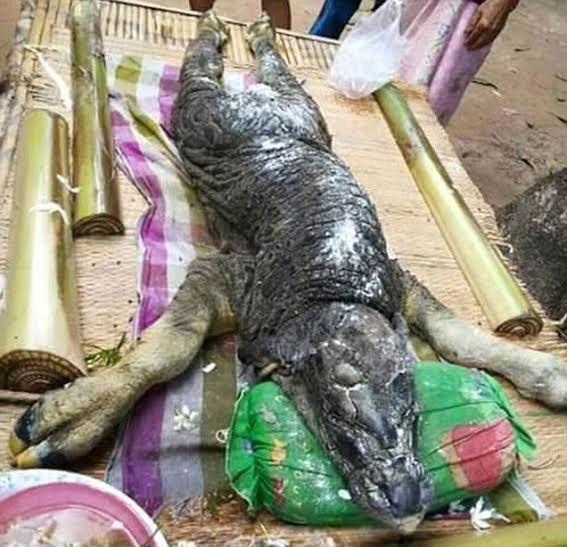 تمساح أم جاموسة؟