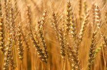 مزارعون يؤكدون نجاح تقاوي القمح (التركية) والبنك الزراعي يتبرأ من مسؤولية فشل الموسم