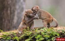 """""""مزاح القردة الثقيل"""" قد يتحول إلى معركة"""