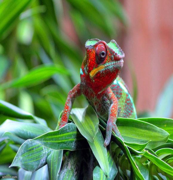 السحلية الحرباء لديها خلايا خاصة تسمى حاملات الألوان