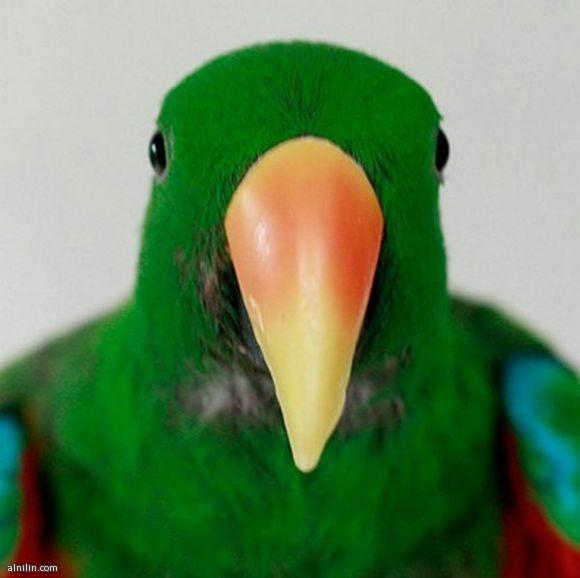 صور الحيوانات المعيارية-ببغاء اخضر