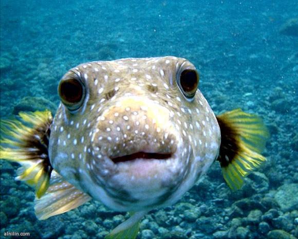 أخطر 10 مخلوقات في العالم -السمك البخاخ Puffer Fish