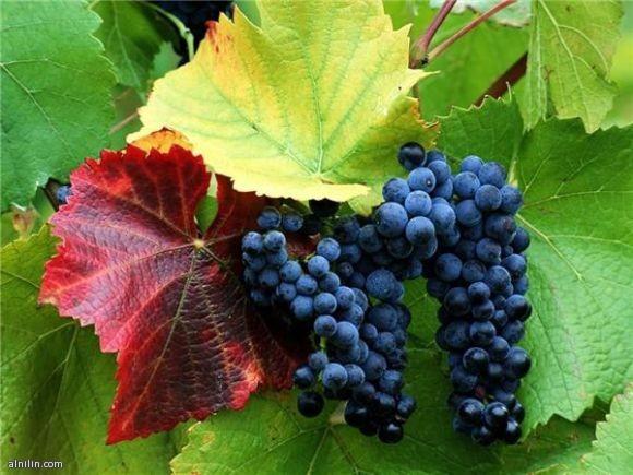 عناقيد العنب