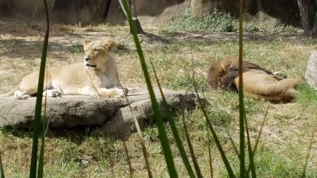 Lions! Photo: Michael Farah.