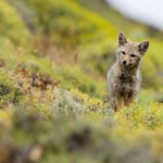 South American Gray Fox in Torres del Paine National Park