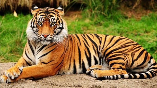 12. Tigre - Imgur