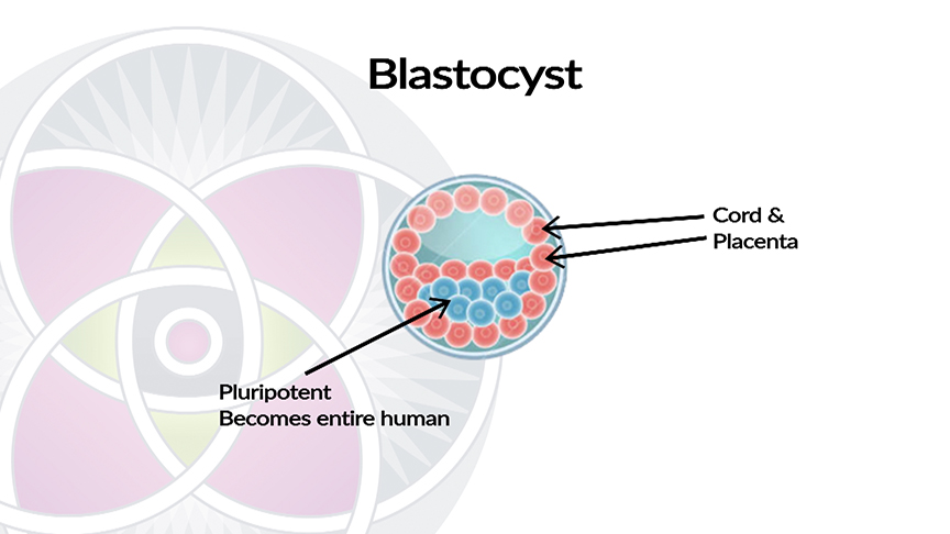Blastocyst Cells Differentiate Into Two Different Types