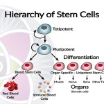 What are Stem Cells and Why are They Important?