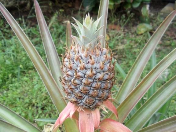 Pineapple at Keanae on way to Hana
