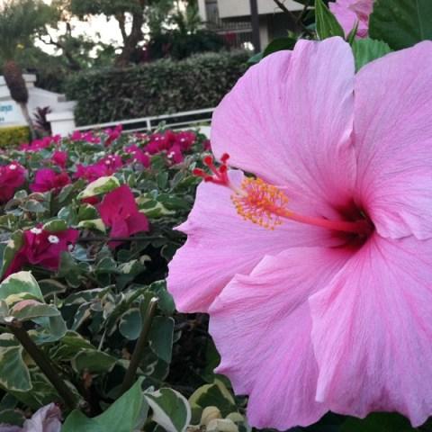 Hibiscus on Maui