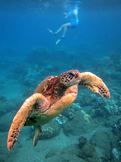 snorkeling on Maui with turtles 2