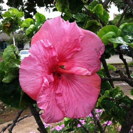 huge pink hibiscus maui