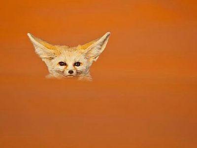 zorro desierto I_opt