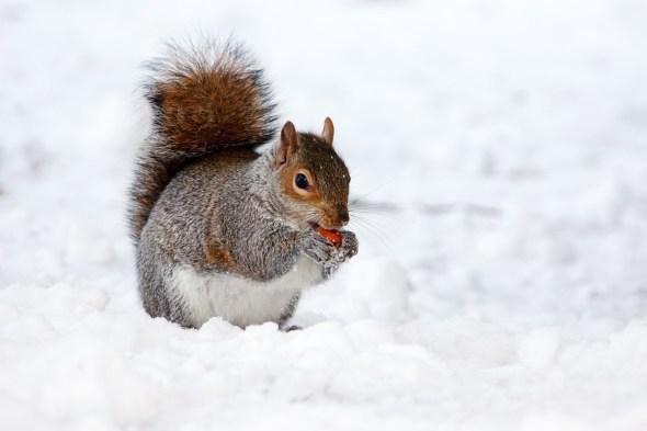 écureuil noisettes