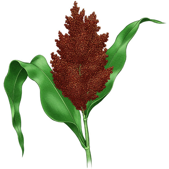 All About Growing Sorghum