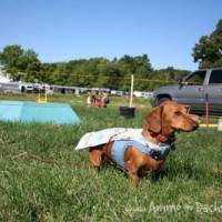 Adventures of a Performing Doxie