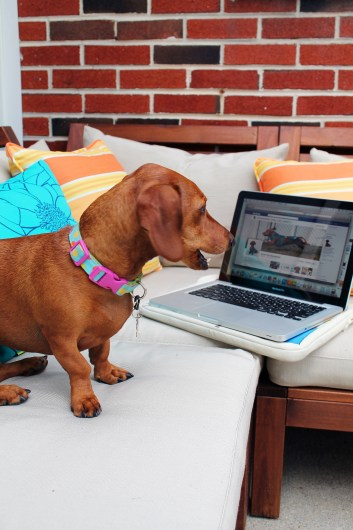 ammo the dachshund blogging outdoors