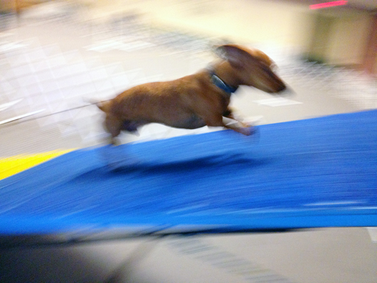 Ammo the Dachshund at Agility class