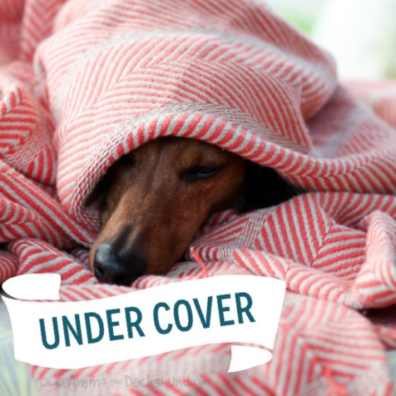 Under Cover // Ammo the Dachshund