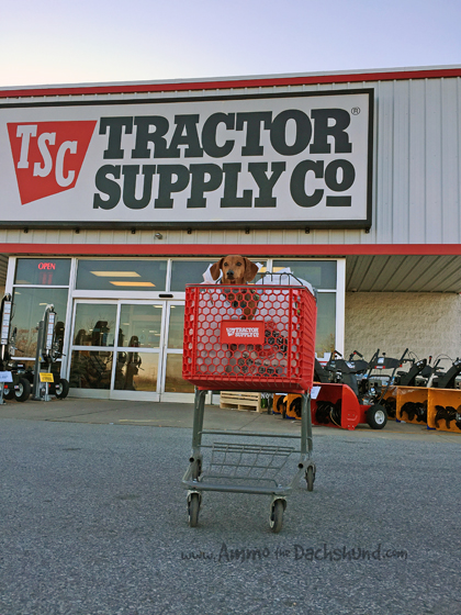 Ammo the Dachshund Donates to Charity with #TractorSupply