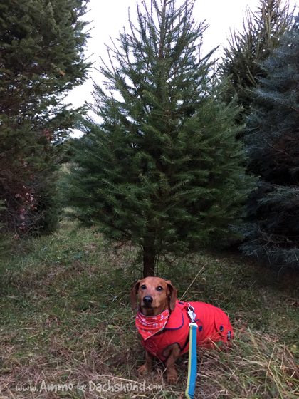 Dog Days of Cheer! Ammo the Dachshund goes Christmas Tree Shopping