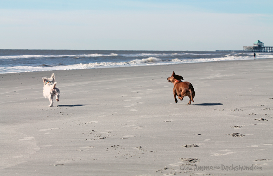 Thanksgiving Roadtrip: Folly Beach Dogs