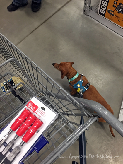 Practicing in Public - Ammo the Dachshund visits Lowes