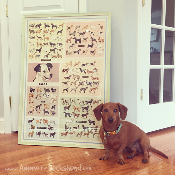 Simple Pleasures with Ammo the Dachshund