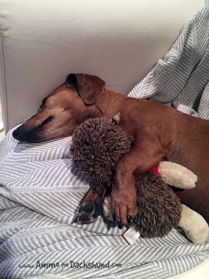 Oh The Places You Sleep: Vol. 14 with Ammo the Dachshund