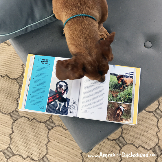 Dogs And Their People // Ammo the Dachshund in Barkbook
