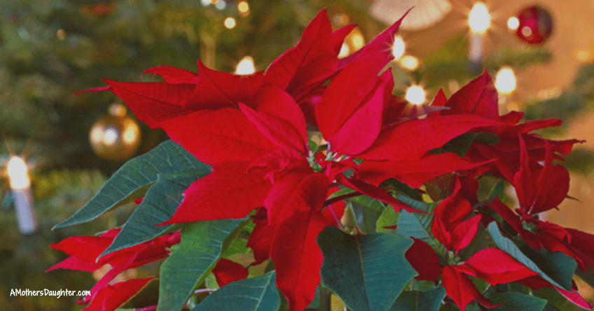 Easy Poinsettia Care Tips [Video]