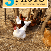 3 Facts About Free-Range Chickens & Eggs
