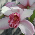 pale-pink-orchid