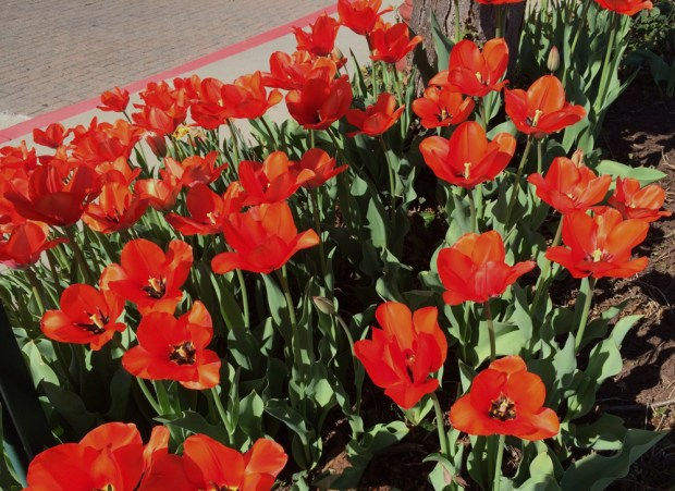 Tulips in the early morning sunshine