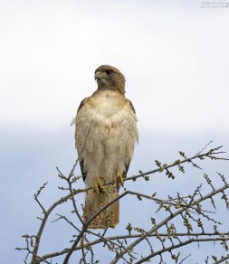 Хищный Red-shouldered Hawk на обочине.