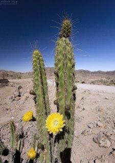 Перуанский кактус-факел (Trichocereus peruvianus).