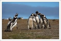 """""""Солист и хор"""". Магеллановы пингвины (Spheniscus magellanicus) живут на необитаемом людьми острове Isla Magdalena, роют норы, и периодический закатывают такие концерты. Больше всего пингвинская песня похожа на вопль сошедшего с ума осла, что-то вроде """"иаааа-аа-ааа-иааа-ааааа""""."""