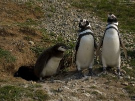 Пингвины демонстрируют своих птенцов.