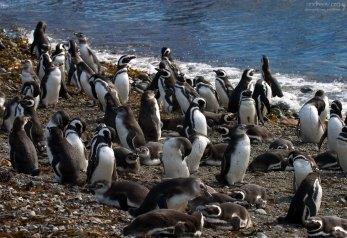 Магеллановы пингвины на берегу.