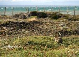 Патагонский заяц.