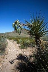 Некоторые юкки (Mojave yucca) уже обзавелись плодами, призывно висящими над самой тропинкой.