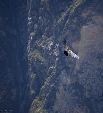 Самка Андского кондора на фоне ущелья.
