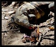 """""""Ночной кошмар Краба"""" Борьба между сухопутной игуаной и крабом."""
