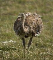 Южноамериканский страус нанду или реа (Darwin's Rhea).