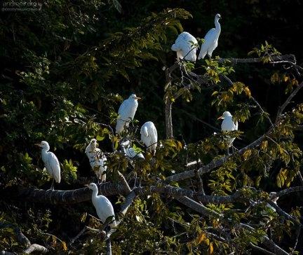 Стайка белых цапель в утренних лучах на Птичьем острове (Isla de Los Pajaros).