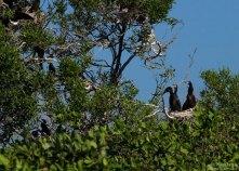 Подросшие птенцы бакланов в гнезде. Птичий остров (Isla de Los Pajaros). Национальный парк Palo Verde.