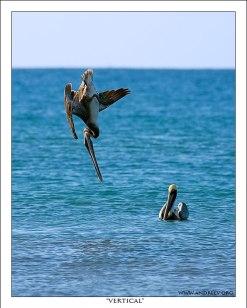 """""""Вертикаль"""" Пеликан в виде метательного копья, нацеленный на рыбу. Сейчас воткнется :) Охота увенчалась успехом."""