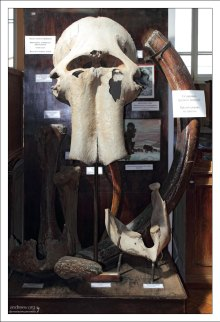 """Останки взрослого, 60-летнего мамонта, найденные в Восточной Сибири на реке Алдан, на так называемой """"Мамонтовой горе"""". НИИ им. А. П. Карпинского."""