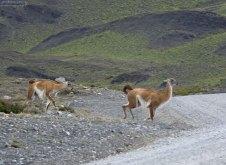 Самцы гуанако гоняются друг за другом и плюются.