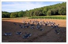 "Вольер с гусями на ферме ""Elevage du Bouyssou""."